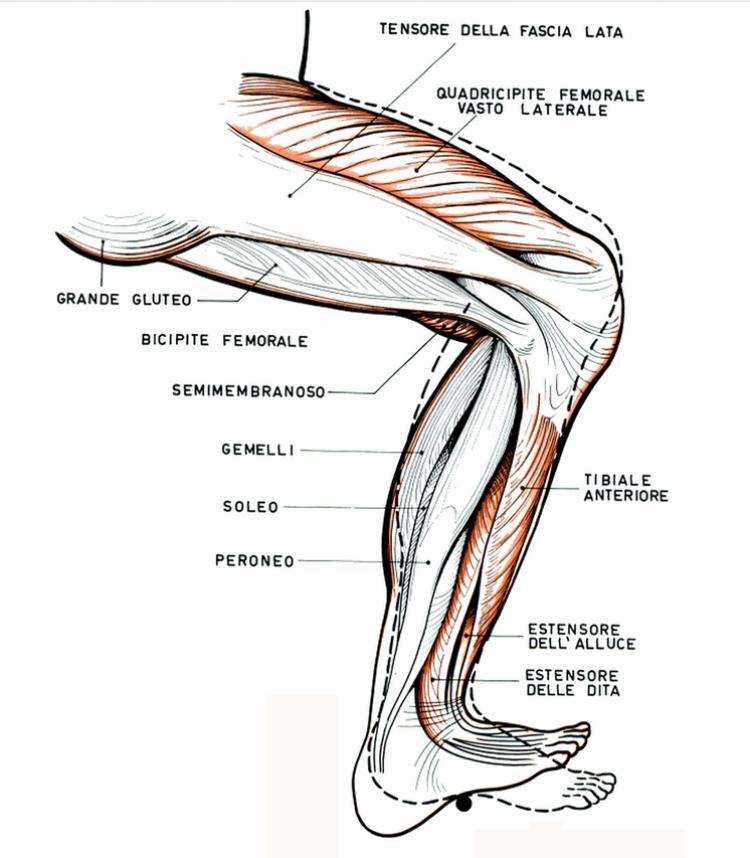 I muscoli del cavaliere: gli arti inferiori