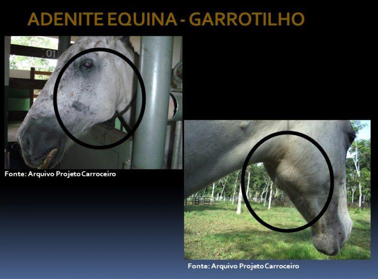 Adenite equina: trattamento e prevenzione