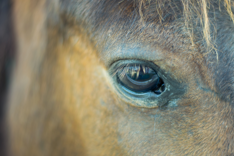 Gli occhi: una finestra sulla personalità dei cavalli
