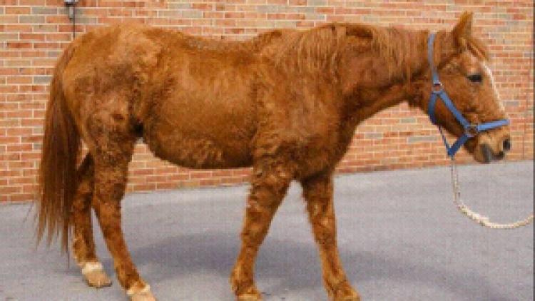 Malattia di Cushing nel cavallo