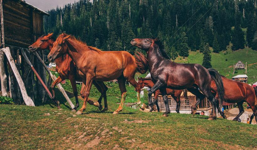 cavalli scappano